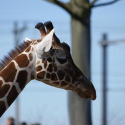 Blijdorp - Giraffe