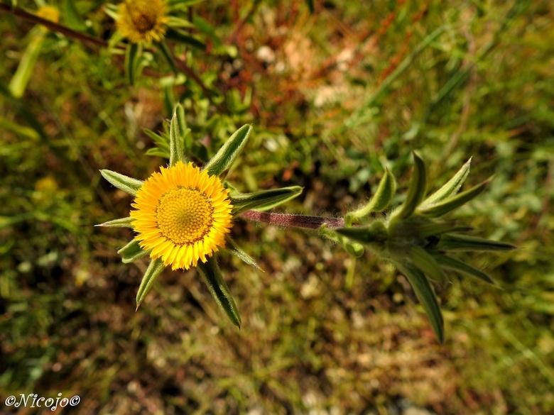 Pallenis spinosa. - Pallenis Spinosa – ook wel doornig sterrenkroos of stekelige gouden ster genaamd - is een eenjarige kruidachtige plant die behoort
