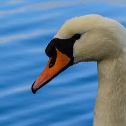 Hydrophobic Swan