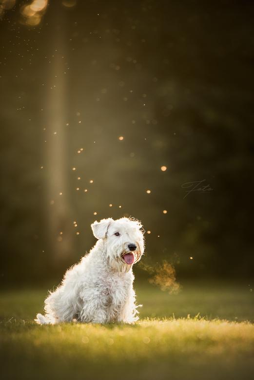 Beau - Mijn favoriete hondenras: de Sealyham terrier. Tegenwoordig vrij zeldzaam maar daardoor zéker niet minder leuk. <br /> <br /> Hier Beau in he