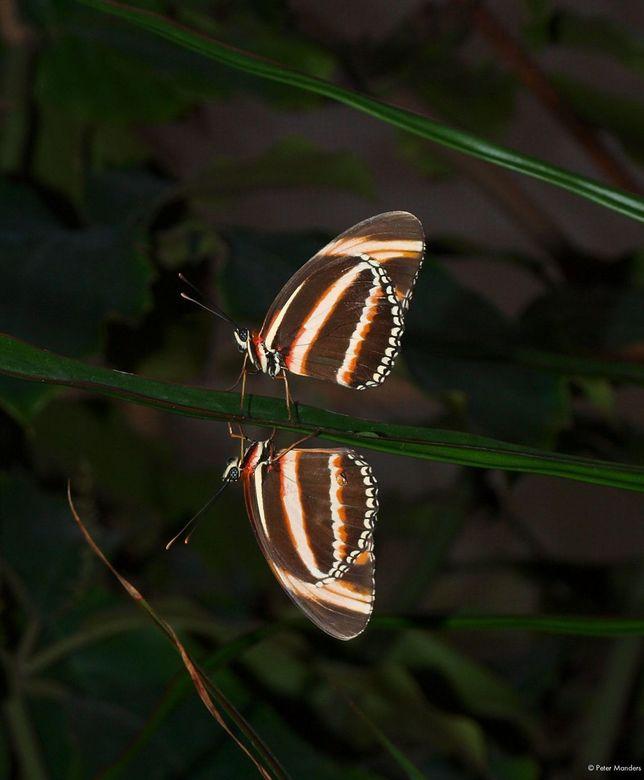 spiegelbeeld - vandaag maar weer eens naar de orchideeënhoeve geweest, <br /> dit &#039;spiegelbeeld&#039; kon ik niet weglaten, wel wat ruis op de a