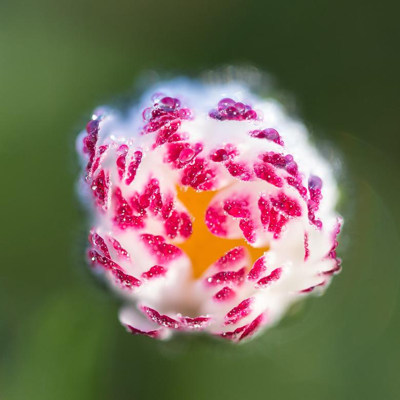 Madeliefje! - Afgelopen voorjaar beetje zitten experimenteren met dit bloempje, net na zonsopgang.
