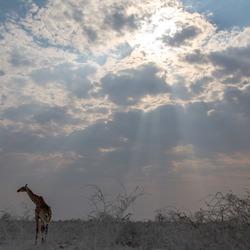 Giraf en zonnestralen