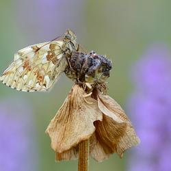 Bergparelmoervlinder
