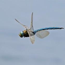 Grote Keizerlibel in zijn/haar vlucht.
