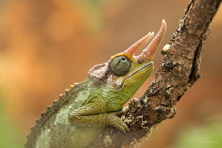 driehoornkameleon
