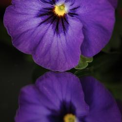 paarse viool