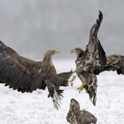 The battle of Eagles