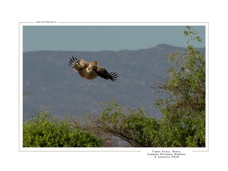 Tawny Eagle, Kenia - De Steppearend heeft een verenkleed dat kan variëren van licht- tot donkerbruin. De snavelbasis is oranjegeel tot geel en loopt d