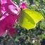 Citroenvlinder op lathyrus 2