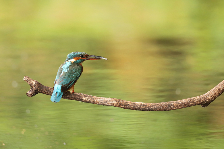IJsvogel op een tak met visje tussen snavel - IJsvogel met visje in snavel.