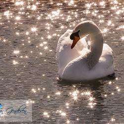 Twinkle twinkle little..... swan