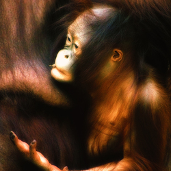 Baby orang-oetan