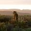 Cheetah watching the sundown at Sanbona Wildlife Reserve