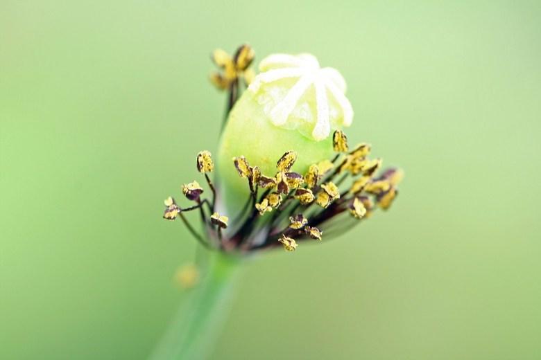 Klaproos - Ik dacht dat het een gele klaproos was, maar begin nu toch te twijfelen of het geen tulp was.<br /> Is genomen in een natuurgebied, missch