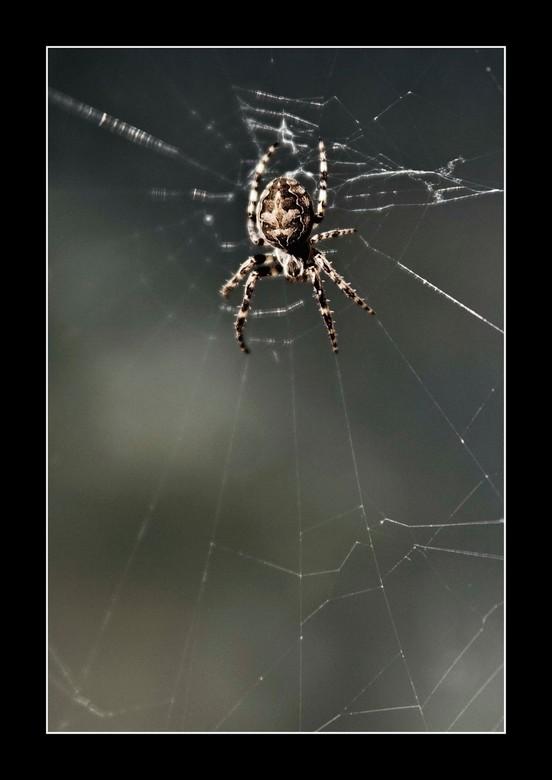 Spin in het web - Spinnetje in het web.