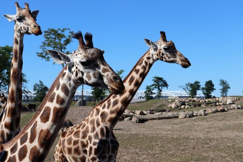 Giraffes - Op 'safari' in Wildlands, 23/06/2018.