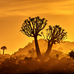 Quivertree forest at sunrise