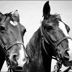 twee paarden..............