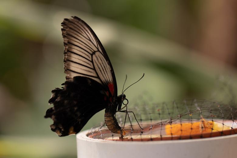 Lekker hapje - Tropische vlinder op een bakje met fruit
