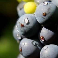 Regent, blauwe druif