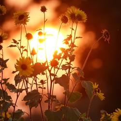 Zonnebloem met de ondergaande zon