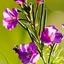 Orchidee_Wild