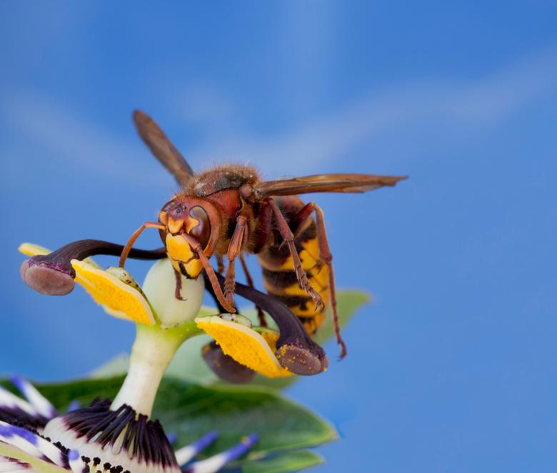 hoornaar - e hoornaar (Vespa crabro) is een vliesvleugelig insect uit de familie plooivleugelwespen (Vespidae). De hoornaar behoort tot de echte wespe