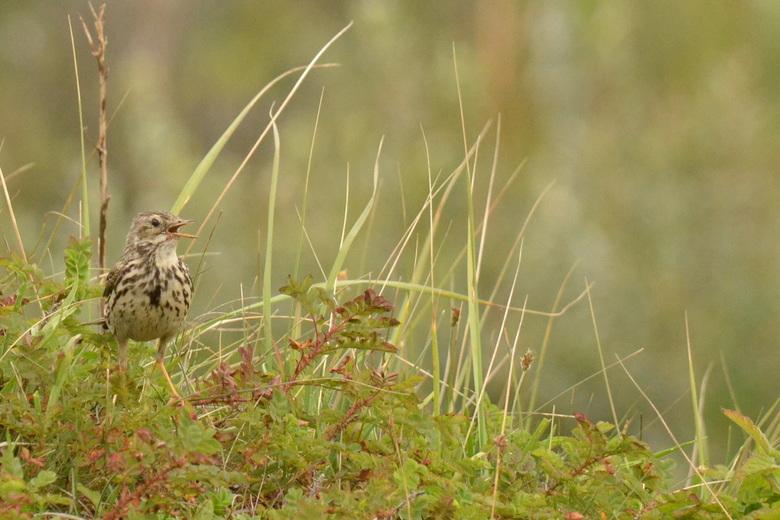 graspieper - De algemeenste piepersoort in Nederland. Heeft geen opvallende kenmerken, maar roep en zang zijn karakteristiek. Broedt in allerlei open