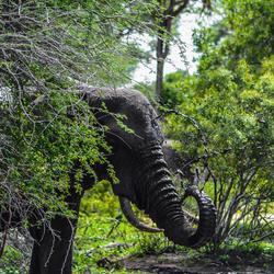olifant modderbad