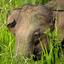 Olifant in Sri Lanka