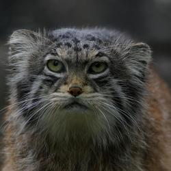 Pallas Cat (2)