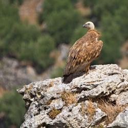 Vale gier (Kreta)