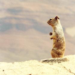 Eekhoorn in de Grand Canyon