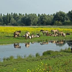Konikpaarden omringd door spreeuwen