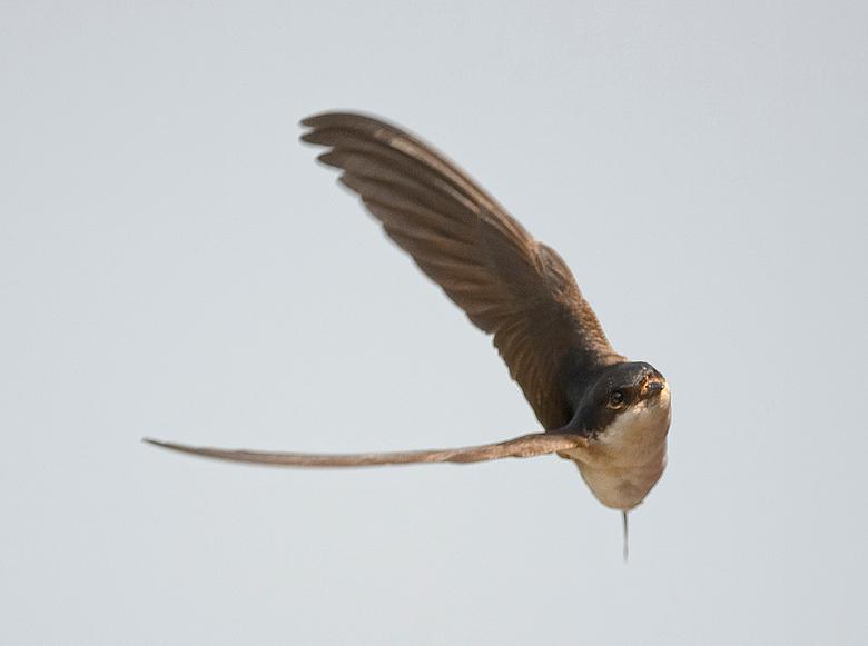 ZWALUW OP VINKENSLAG - Geweldige reflexen in de jacht naar insecten.