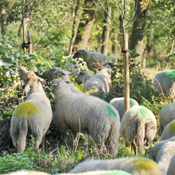 Sheep all over the place