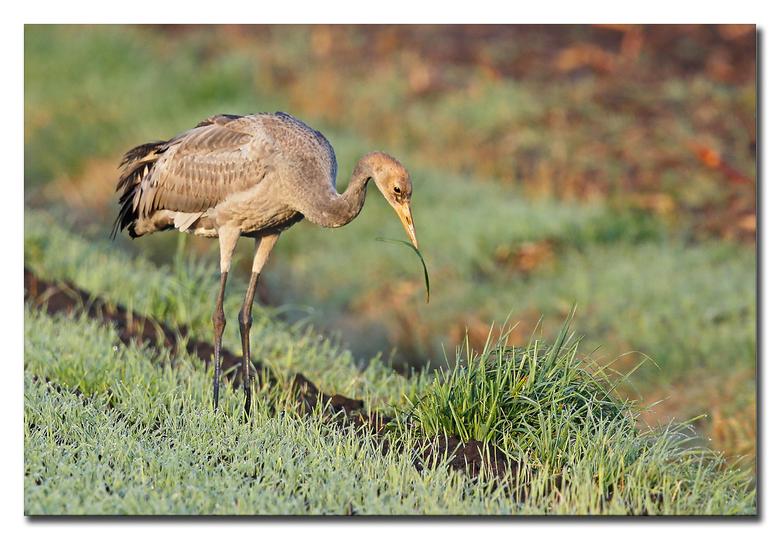 Juvenieltje - een juveniele kraanvogel die een grassprietje pikt!<br /> <br /> ( verder, helaas weer was van alles en nog wat, mist, heiig ,waterig