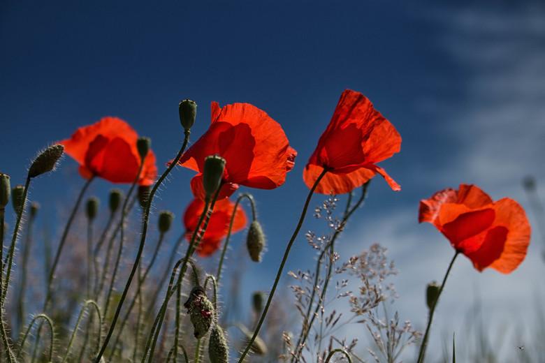 Poppys in the sky - Genomen in de avond toen de zon langzaam aan onder begon te gaan