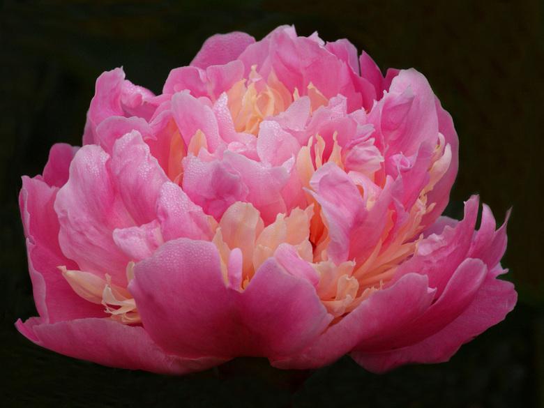 Pioenroos - Ze bloeien al volop en hebben soms de mooiste kleuren, zoals deze bijvoorbeeld.<br /> Ben benieuwd of jullie haar ook zo mooi vinden ....