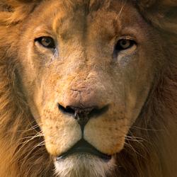 Afrikaanse Leeuw - DierenPark Amersfoort