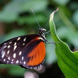 Heliconiusvlinder