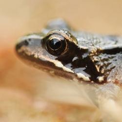The eye of Frog...