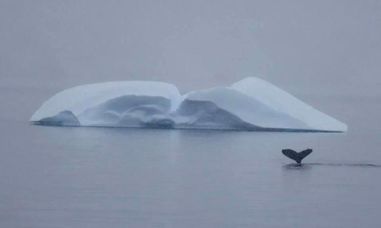 IJsberg past zich aan walvis aan:-) - Walvis in Wilhelmina Bay