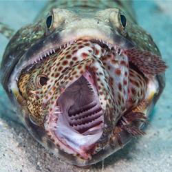 Lizardfish met grouper