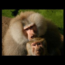Collage baviaan