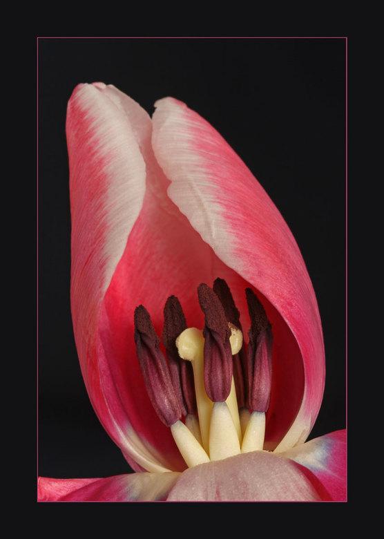Tulp - Vind tulpen altijd een mooie bloem om mee te experimenteren met de instellingen van je camera.<br /> <br /> bedankt voor jullie reacties op v