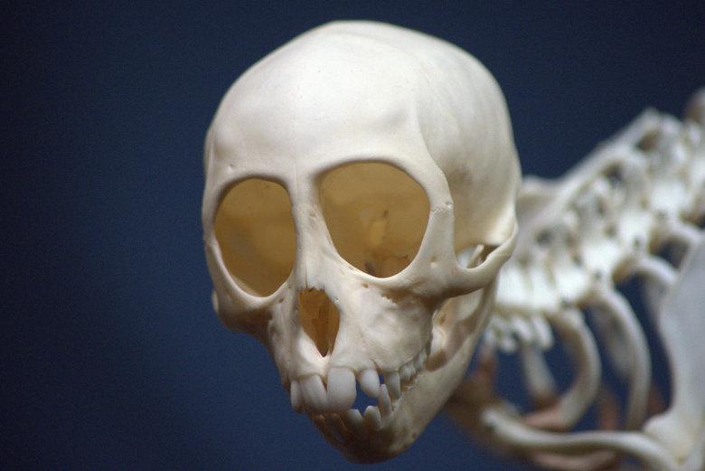 Skelet -
