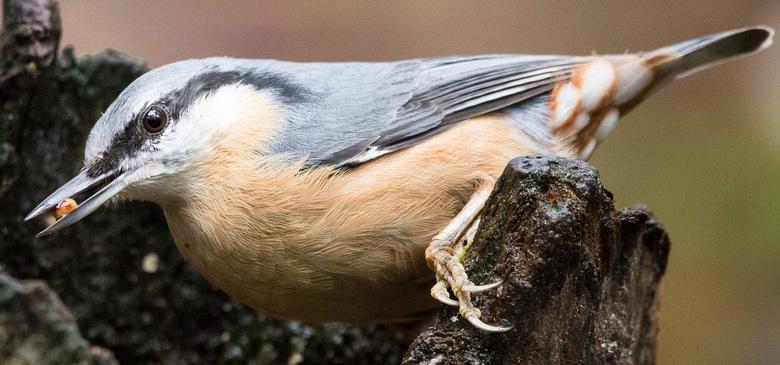 boomklever - Foto is genomen vanuit een vogelkijkhut op NP De Hoge Veluwe