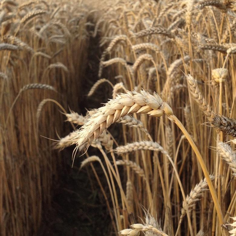 IMG_1227 - Waiting for harvest